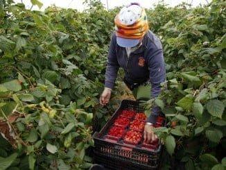 Asaja-Huelva pide que se potencien la presencia de trabajadores repetidores comunitarios para la próxima campaña de recolección