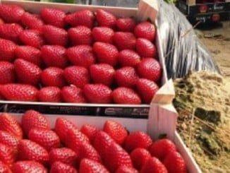 La Junta de Andalucía puede abrir expediente sancionador por prácticas de venta a péridas de las fresas.