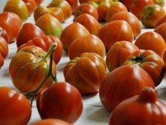 Tomates de variedad tradicional en el Instituto de Biología Molecular y Celular de Plantas