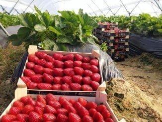 La climatología ha hecho que este año haya menos fresas pero de más calidad