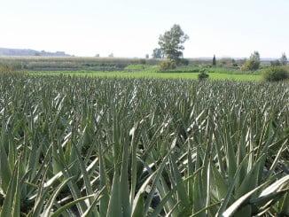 Cultivo de Aloe Vera en COALVE