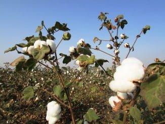 Existe sobre el sector algodonero andaluz incertidumbre de cómo quedarán las ayudas públicas