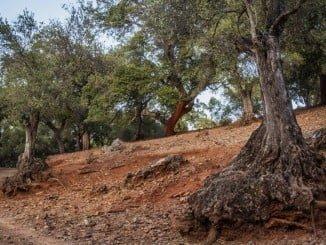 En la provincia de Huelva apenas quedan 50.000 hectáreas de alcornoques