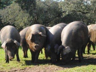 El taller explicará las diferentes partes del despiece del cerdo ibérico que se destinan a su consumo culinario
