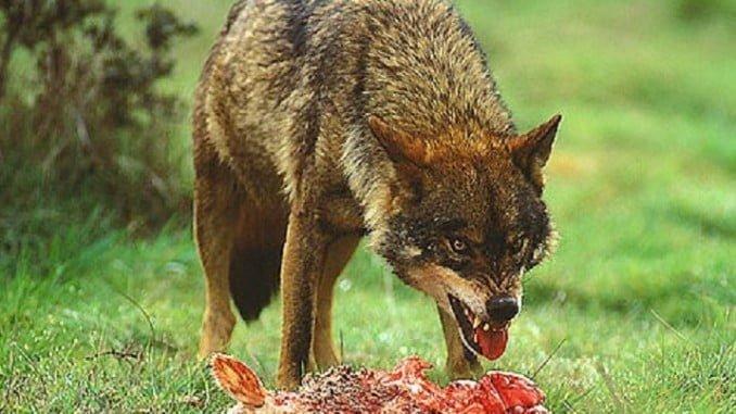 Lobo comiendo una pieza de ganado
