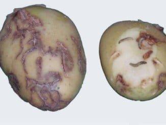 La polilla produce daños en el tubérculo porque las larvas se alimentan  y forman galerías que imposibilitan su comercialización