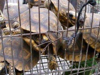 Entre las numerosas especies aprehendidas figuran tortugas, linces, camaleones...