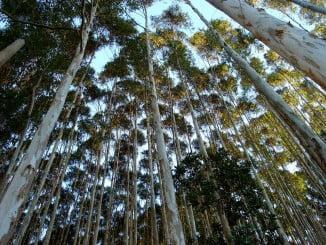 El foro decidió proceder al estudio de la retirada progresiva de los eucaliptos de los entornos naturales protegidos conforme vayan agotando su ciclo productivo