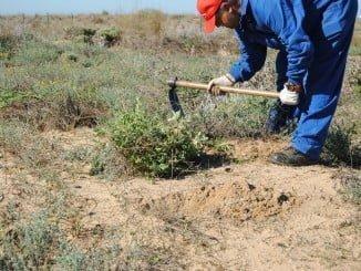 Trabajos para controlar la planta invasora onagra costera en el Paraje Natural Marismas del Odiel