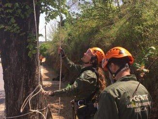 Los agentes de Medio Ambiente escalan hasta la copa del árbol para recolectar las semillas