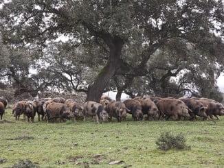 Las dehesas onubenses afianzan su liderazgo en cabaña de cerdo ecológico