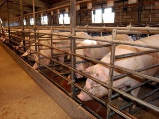 En el incendio han muerto unas 700 cabezas de ganado porcino entre hembras reproductoras y crías