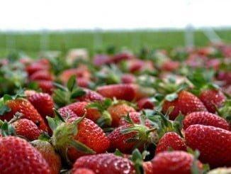 El número de trabajadores que tenía que venir de Marruecos a trabajar en la campaña de la fresa se ha visto reducido al 50%