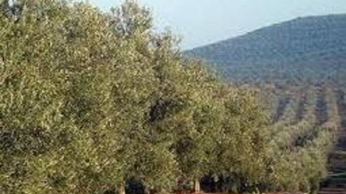 Olivar en Andalucía
