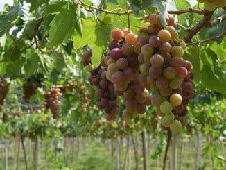 La producción de vino en España  alcanzó en 2016 los 43,1 millones de hectolitros