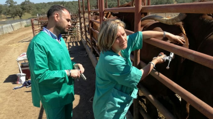 Pedro Pascual ha participado en una vacunación de un rebaño bovino en la explotación andevaleña conocida como Santa Rosalía