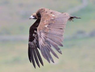 El buitre negro es la mayor ave carroñera de Europa