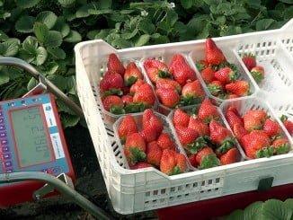 El nuevo carro conseguirá minimizar la manipulación de la fruta y el exceso de peso en los envasados
