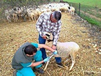Vacunación de ganado contra la lengua azul
