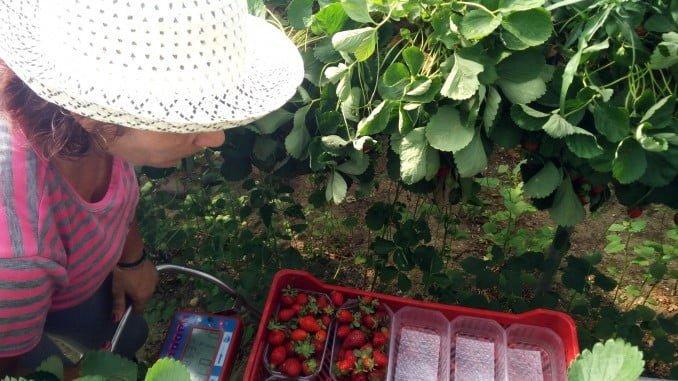 El carro de Apleinova ya se prueba en la recolección de fresas de Cuna de Platero en los viveros de Avila.