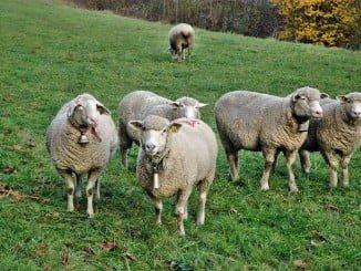574 explotaciones de ovino y caprino se beneficiarán de las ayudas de la PAC