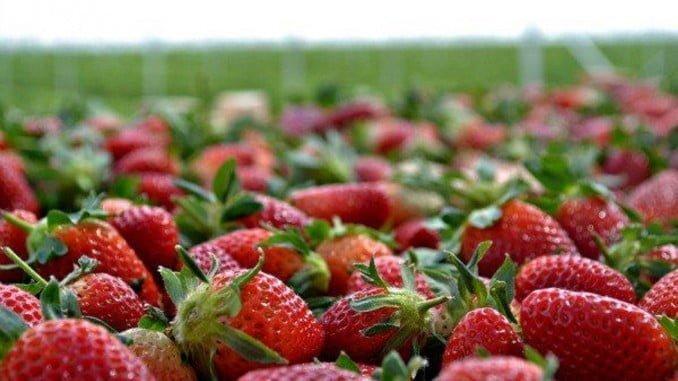 La producción de fresas ha aumentado un 2% en esta campaña, a pesar de que la superficie plantada ha sido un 7% inferior