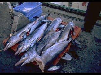 78 buques de palangre de superficie  podrán acceder a las capturas de atún