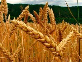Los cereales son también el principal contribuyente a las exportaciones de productos agrícolas primarios de la UE