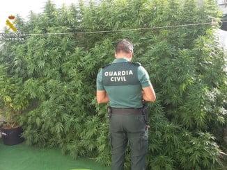 Las plantas de marihuana intervenidas tenían casi dos metros de altura