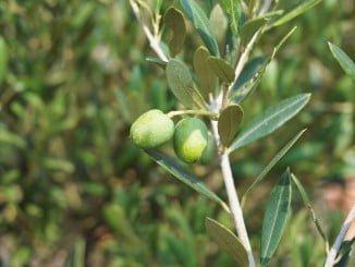 El objetivo del proyecto es modernizar un sector tradicional como el de la olivicultura