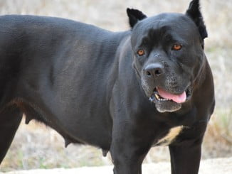 La tenencia de perros potencialmente peligros sin licencia municipal es una infracción muy grave