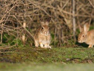 Los conejos son fundamentales en la alimentación del lince y del águila imperial.