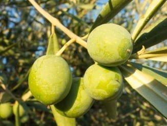 Upa advierte que el défic hídrico va a condicionar la producción de aceituna de verdeo