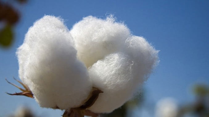 Con 903 toneladas de algodón en Huelva, es la provincia andaluza que mayor crecimiento ha experimentado, el 56%
