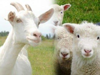 El sector del ovino y caprino está acusando mucho la sequía