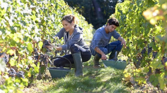 El cambio climático ha  adelantado la vendimia y ha mermado la producción de uva