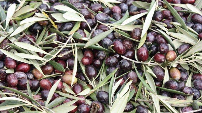 Aceitunas de olivos silvestres