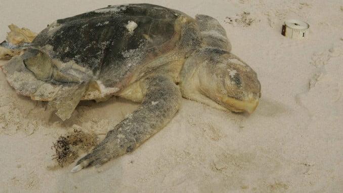 Imagen de una tortuga muerta en la playa