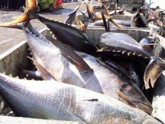 Se ha acordado aumentar el TAC de atún rojo de forma progresiva desde las 22.705 toneladas actuales hasta las 36.000 toneladas en 2020