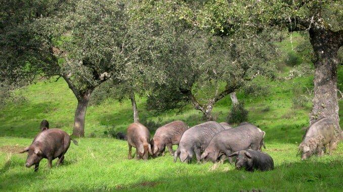 27 explotaciones ganaderas se han benficiado de la entrega de porcinos de raza ibérica
