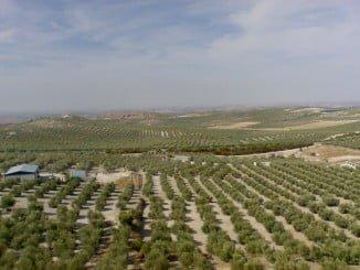 El arancel a la aceituna española perjudica gravemente a los agricultores españoles