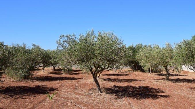 Huelva  recibirá más de 194.300 euros para agricultura de montaña con orientación ecológica en olivar