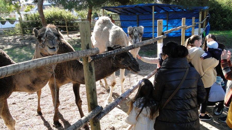 Los camellos no podían faltar en la recreación navideña de Mazagón.