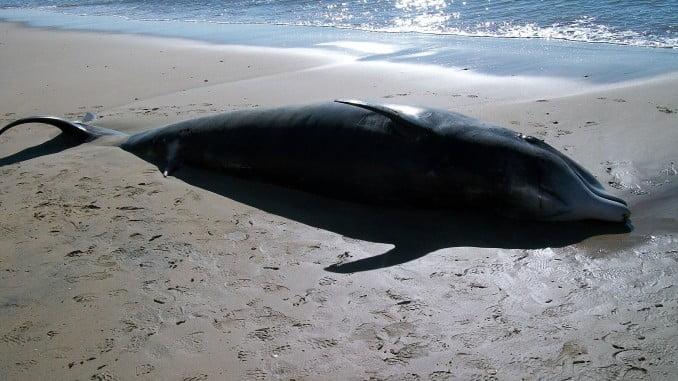 El varamiento de cetáceos en el litoral se está controlando.
