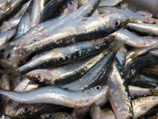 La pesca de la sardina ibérica tiene gran importancia socioeconómica para las flotas de España y Portugal