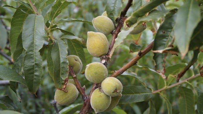 El sabor amargo de las almendras es debido a un aldehído aromático (benzaldehído)