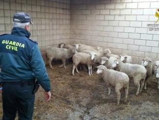 Un agente de la Guardia Civil con el ganado intervenido
