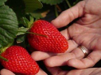 La Interprofesional vigila cualquier intento de vender a pérdida las fresas por parte de supermercados para atraer a clientes a los mismos.