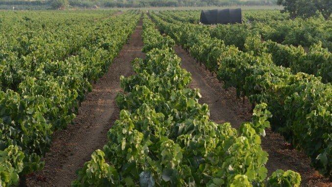 Importante venta de vino a granel a Alemania amparada por la DOP Condado de Huelva