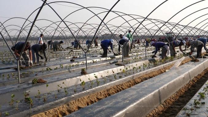 as en los campos de fresas se trabaja a todo ritmo, el sector abordará hoy en las Jornadas de Interfresa la gestión del cambio, investigación y promoción.